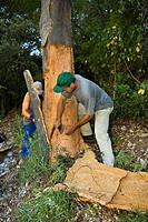 Two workers removing the cork from a cork oak in the Valle de Las Batuecas, inside the Las Batuecas-Sierra de Francia Natural Park, Sierra de France, ...