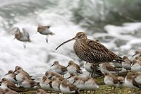 Curlew (Numenius arquata), between dunlins (Calidris alpina), Oosterschelde, Zeeland, Netherlands