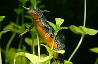 Alpine newt (Triturus alpestris) underwater, female