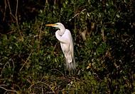 Silver heron, Casmerodius albus, Pantanal, Brasilien