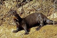 Giant otter, Pteronula brasiliensis, Pantanal, Brasil