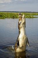 Jumping Caiman crocodylus, Pantanal , Brasil