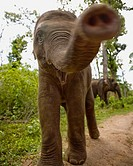 very close shot of a baby elephant trunk right in the lens