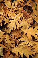 Pyrenean Oak (Quercus pyrenaica) fallen leaves
