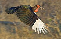 Close up of Southern Ground_Hornbill in flight, Greater Kruger National Park, South Africa