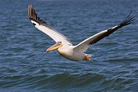 Great White Pelican flying over water, Namibia, Africa
