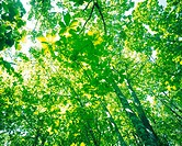a Lot of Different_sized Green Leaves, Partly Touched By the Sunlight, Low Angle View