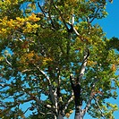 a Tree With Different_colored Leaves Under a Blue Sky, Low Angle View, Niigata Prefecture, Japan