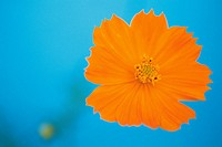 Orange Cosmos, Close Up