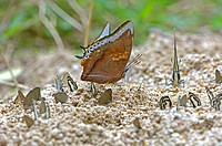 Butterfly, Charaxes marmax