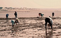 Searching for seafood on beach, Vanlee Haven, Cotentin Peninsula, Manche, Normandy, France, Europe