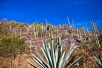Low angle view of agave plants on a hill, Hierve El Agua, Oaxaca, Oaxaca State, Mexico