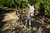 Donkey carrying wooden logs on its back, Hidalgo, Papantla, Veracruz, Mexico