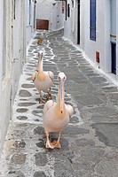 Pelicans, Myconos, Greece