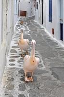 Pelicans, Myconos, Greece