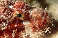 Close_up of the head of a scorpionfish Scorpaensis, Red Sea, Egypt, North Africa, Africa