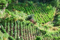 Crop in a field, Vietri sul Mare, Costiera Amalfitana, Salerno, Campania, Italy
