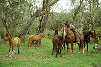 Chasing and catching brumbies wild bush horses, Victoria, Australia, Pacific