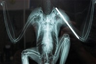 X_Ray of a goshawk wing with a splint