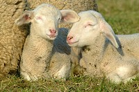 Landschaf, Merino, Lamm, Merino Sheep, lamb