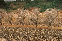 Almond trees in blossom in spring in a vineyard near St. Paul de Fenouillet, Languedoc Roussillon, France, Europe