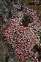 Broad-leafed stonecrop Sedum spathulifolium