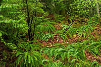 Temperate rainforest in spring- sword ferns and understory shrubs