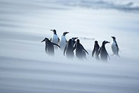 A group of Gentoo penguins Pygocelis papua papua caught in a sand storm, Sea Lion Island, Falkland Islands, South Atlantic, South America