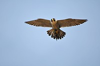 Peregrine Falcon (Falco peregrinus), flying with a prey, a blackbird (Turdus merula) s Germany