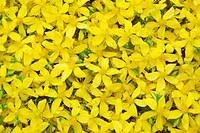 Harvested Saint-John's-wort blossoms
