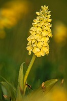 Pale-flowered Orchid (Orchis pallens) Swabian Alb Baden Wuerttemberg Germany