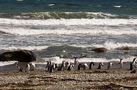 Magellanic penguin colony, Seno Otway, Patagonia, Chile, South America