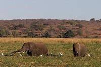 African elephant, Loxodonta africana, Chobe River, Chobe National Park, Botswana, Africa