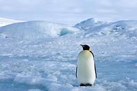 Emperor penguin Aptenodytes forsteri, Snow Hill Island, Weddell Sea, Antarctica, Polar Regions