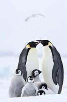 Emperor penguins Aptenodytes forsteri and chicks, Snow Hill Island, Weddell Sea, Antarctica, Polar Regions