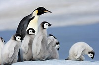 Emperor penguin Aptenodytes forsteri and chicks, Snow Hill Island, Weddell Sea, Antarctica, Polar Regions