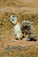 Cape Ground Squirrel (Xerus inauris) intake of food