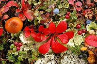 Tundra in autumn , detail bearberry (Arctostaphylos alpinus) lichen and mushroom blue berry (Vaccinium myrtillus) low bush cranberry ( Vacinium vitus)