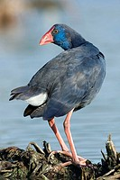 Purple swamphen, Porphyrio porphyrio