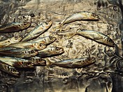 Sardines on hammered metal sheet