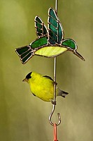 American goldfinch Carduelis tristis Male perched on Hummingbird feeder deck ornament