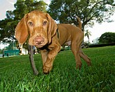 young puppy carrying a stick through the park
