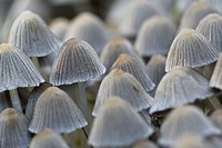 Mushrooms (Coprinus disseminatus)