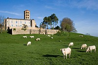Romanesque church and Charolais cows, Anzy-le-Duc. Brionnais region, Saône-et-Loire, Burgundy, France
