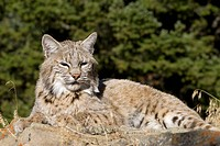 Adult Bobcat sits on a rocky ledge during the heat of summer