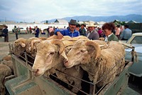 Customers inspecting sheep at sheep market, Balikchi, Kyrgyzstan, Central Asia, Asia