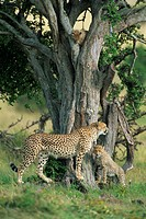 Cheetah cubs Acinonyx jubatus eight months old, playing in tree, Masai Mara National Reserve, Kenya, East Africa, AFrica