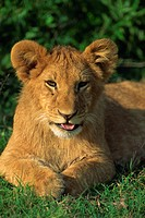 Lion cub Panthera leo, Masai Mara National Reserve, Kenya, East Africa, Africa
