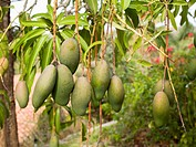 Mangos Growing on the Tree in Mexico