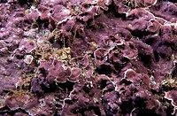 Eastern Atlantic Galicia Spain Calcareous seaweed Mesophyllum lichenoides